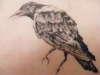 crow (on pigskin) tattoo